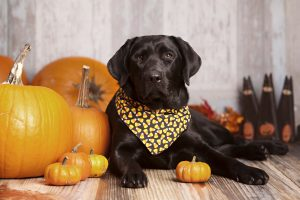 Beautiful Black Labrador Retriever lying next to some pumpkins and gourds with other fall decor in the background.